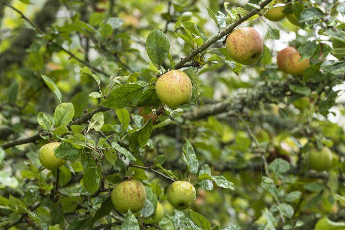 Les pommes du verger du Gîte Kerburu